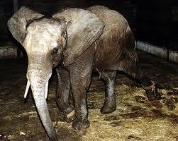 Comment différencier l'éléphant d'Asie de l'éléphant d'Afrique?